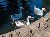Threesome of geese