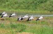stock photo of land-mass  - Crowd of asian openbill stork on the marsh land - JPG