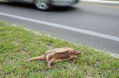Dead Aramdillo On Side Of The Road