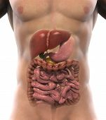 stock photo of digestion  - Illustration of Human Digestive System - JPG