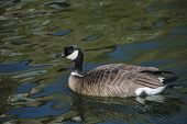 Barnacle Goose In Shimmering Water