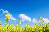 stock photo of rape-seed  - Rape seed flowers at a blue sky with white clouds - JPG