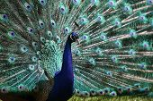 male peacock (Pavo cristatus)