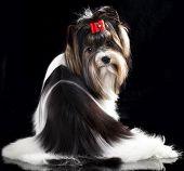 Beaver Yorkshire Terrier, dog