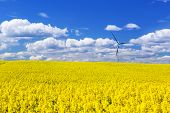 pic of rape-field  - Blooming yellow rapeseed field under blue sky in Poland - JPG