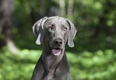 Portrait Of Shorthaired Weimaraner Dog