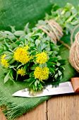 Rhodiola Rosea With A Knife And Coil Of Rope