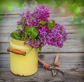 A Bouquet Of Lilac In Old Milk Can In Drops Of Dew And Garden Pruner