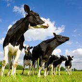 Holstein cows on the meadow