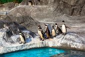 Cute Humboldt Penguins (Spheniscus Humboldt) in a zoo, Japan