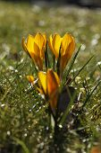 Three Yellow Crocuses