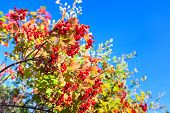 Ripe Red Viburnum On Branch On Blue Sky