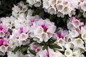 Hybrid rhododendron flowers close-up.