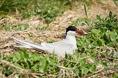 pic of tern  - Arctic Terns  - JPG