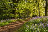Path Through Bluebell Wood