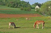 Work Horses Feeding On An Amish Farm