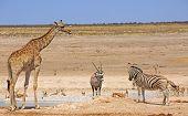 Giraffe, Oryx & Zebra next to waterhole