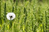 single Dandelion among green plants