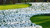 Spring White Crocuses
