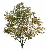 Autumn Walnut Tree