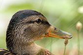 Closeup On Head Of A Female Mallard