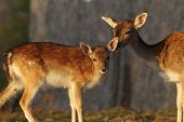 Fallow Deer Calf With Hind