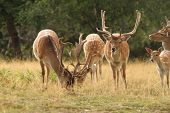 Fallow Deer Herd In A Clearing