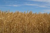 stock photo of australie  - looking into a wheat crop from below - JPG