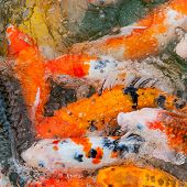 Colorful Koi carp