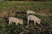 Piglets eat the fresh grass and dig root about