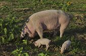 Biological sow and her piglets eat the fresh grass