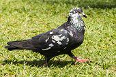 Pigeon In Garden