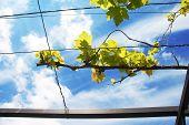 Vine Branch Over Blue Sky