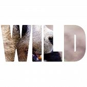Word Wild Giand Panda Bear Eating Bamboo