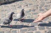 A Man Feeding Pigeons With His Hands. A Symbol Of Peace.