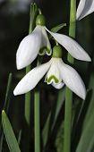 Snowdrops Galanthus Nivalis
