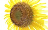 Sunflowers Over White (helianthus Annuus)