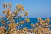 image of spiky plants  - Dried plants of Crete Mediterranean island in front of the sea - JPG