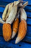 Mature heads of cabbage autumn corn