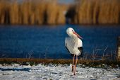 Stork in the snow, staying for winter