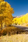 Avenue Of Aspens