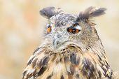 Bubo Or Eagle-owl Bird Quiet Night Hunter