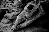 picture of animal anatomy  - Animal skull on sacking dirty soil background - JPG