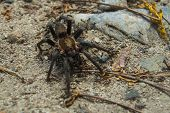 Tarantula Swarmed By Ants