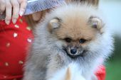 stock photo of miniature pomeranian spitz puppy  - cute pet puppy pomeranian grooming dog in home - JPG