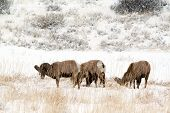 Small herd of bighorn rams