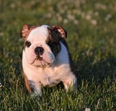 puppy with piece of grass in mouth - english bulldog