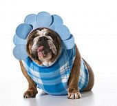 dog with funny expression wearing coat and matching headband on white background - english bulldog