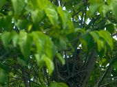 picture of dogwood  - Robin Red Breast in a Nest in a Green Leafy Dogwood Tree - JPG