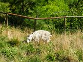 A Shaggy Goat Grazing In A Grassy Fenced Field